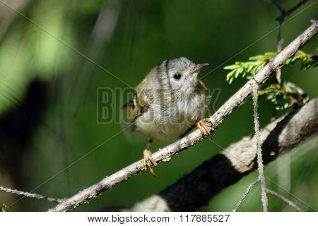 Baby Goldcrest Bird In Firry Forest
