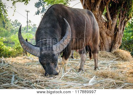 Males Buffalo Federation Of Thailand.