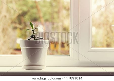 Small Indoor Crassula Plant In Pot On Window Sill