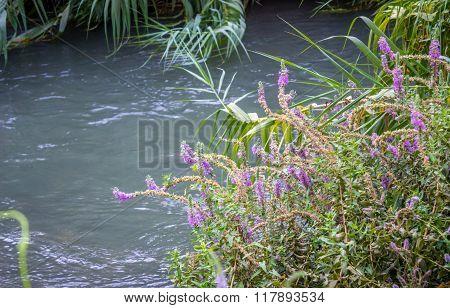 Flowers, Bank Of The Jordan River