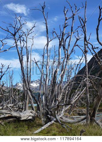 Dry Tree In Tierra Del Fuego