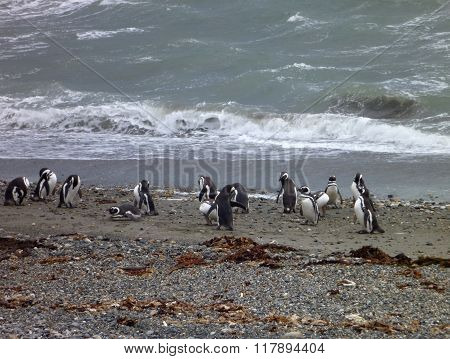 Group Of Pinguins On A Shore In Seno Otway Reservation In Chile