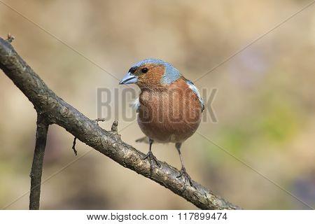Chaffinch bird
