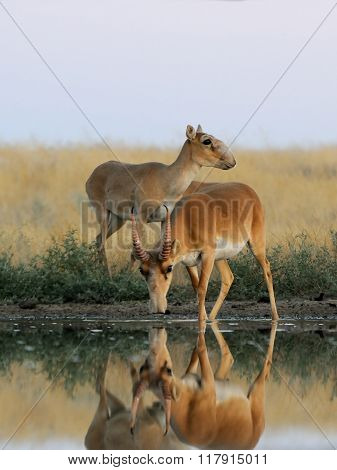 Male And Female Wild Saiga Antelopes Near The Watering Place In The Morning