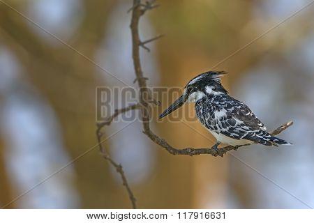 Beautiful  Pied Kingfisher (ceryle Rudis)