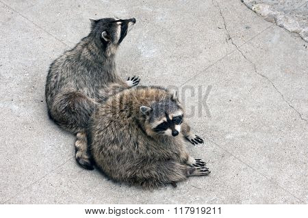 Pair Of Raccoons In Captivity