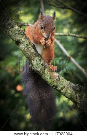 Red Squirrel (sciurus Vulgaris)