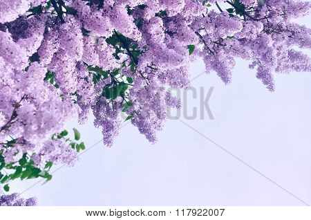 Closeup Of Pink Lilac Flowers - Pastel And Soft Focus Processing. Background With Free Space For Tex