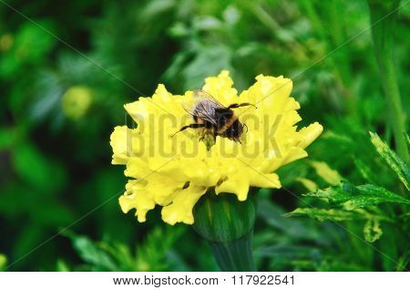 Bumblebee On The Yellow Flower Of Marigold In Summer Day. Selective Focus At The Bumblebee.