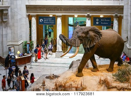 African Elephant in the Natural History Museum