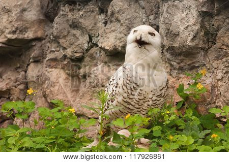 Snowy Owl ( Bubo Scandiacus )