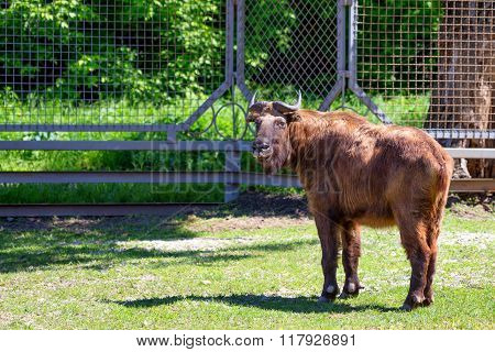 Takin ( Budorcas Taxicolor ) In Captivity