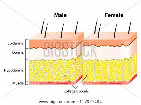Male End Female Skin. Structure And Different