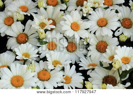 White Marguerite Flower Background