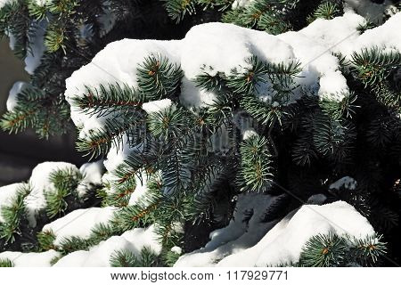 Branch Of Blue Spruce In Snow