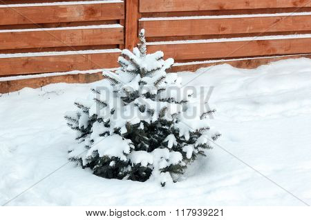 Small Blue Spruce Covered With Snow