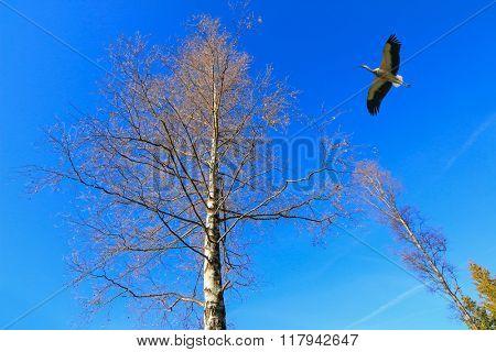 A stork bird flying near big tree against blue sky