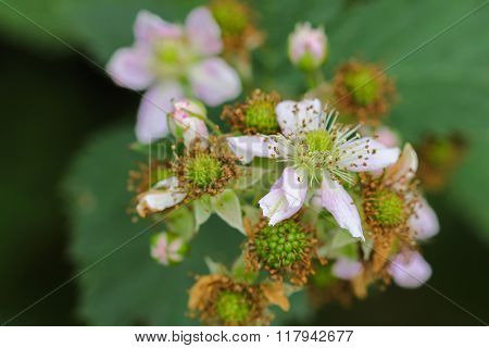 Soft focus of Blackberry fruit flowers (Rubus fruticosus) with pink shade blossoming in the garden