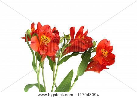 Red alstromeria flowers on white background
