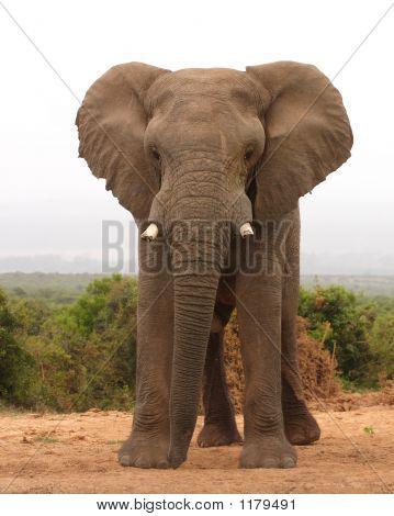 Elefante africano Toro 1