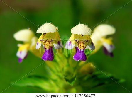 Large-flowered Hemp-nettle or Edmonton hempnettle