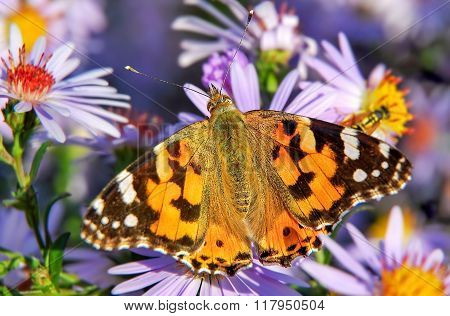 Painted lady butterfly on Aster flower