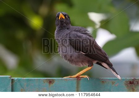 Myna bird standing. Common myna, Indian myna, Mynah (Acridotheres tristis)