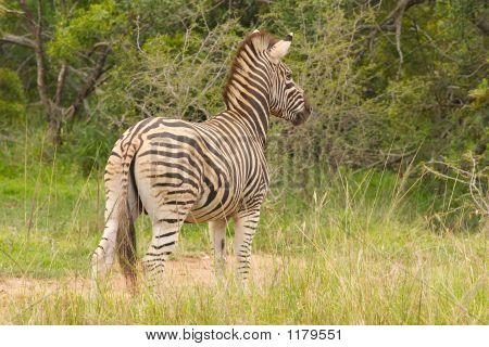 Burchells Zebra1