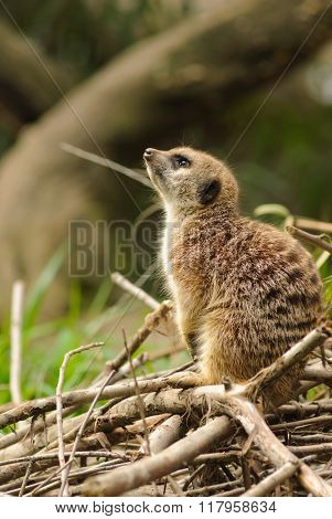 Meerkat (suricata suricatta) on the lookout for potential danger