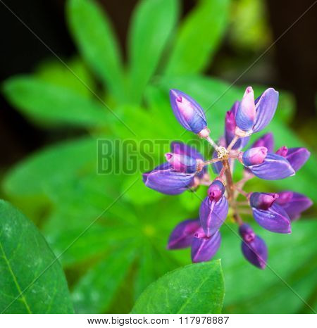 Purple Lupine Flower View From Above Abstract Background