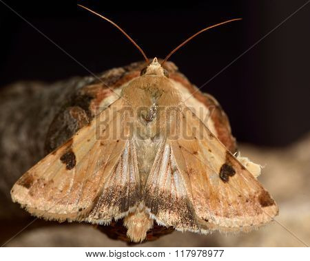 Bordered straw moth (Heliothis peltigera) with hind wings visible