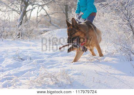 Girl walks her German Shepherd dog