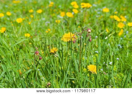Springtime Lawn With Blossom Dandelions
