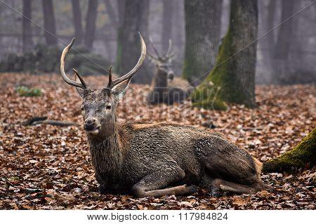 Buck Deer Stag