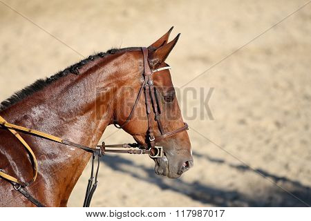 Head Shot Of A Beautiful Young Racehorse During Training