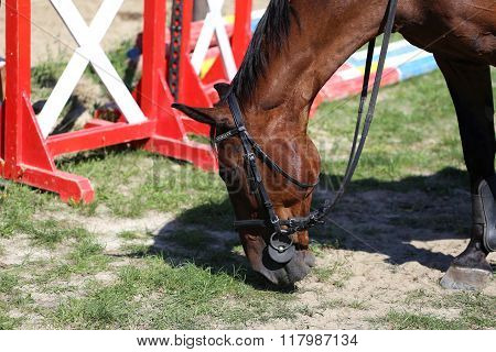 Thoroughbred Show Jumper Horse Graze During Training On Track