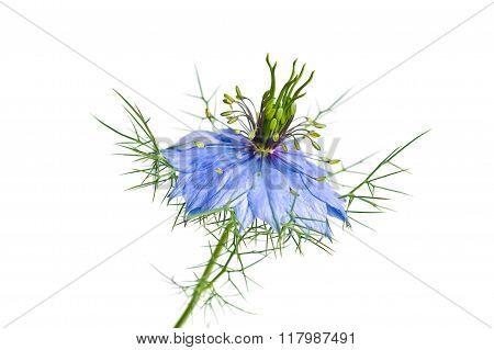Blue Nigella (nigella Sativa L.)