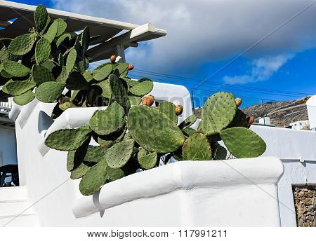 Cycladic house with potted cactus pear (Opuntia ficus-indica) in Santorini, Greece