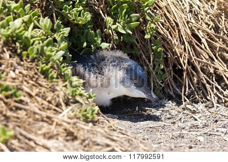 Little Penguin Young In A Burrow