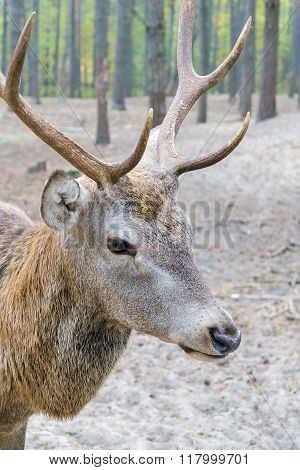 Head Of A Large Deer With Horns, Who Walks In The Woods