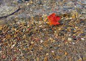 image of canada maple leaf  - red maple leaf in transparent water of osa lake - JPG