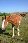stock photo of clydesdale  - curious clydesdale looking at the camera in a meadow.  - JPG