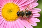 pic of honey-bee  - Bee in the flower