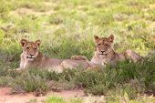 Постер, плакат: Two Young Lionesses At Kgalagadi National Park