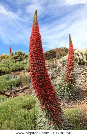 Tenerife landscape with flower Echium wildpretii also know as tower of jewels, red bugloss, Tenerife bugloss or Mount Teide bugloss. Image from Teide national park, Canary Islands, Spain.