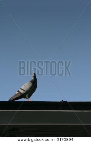 Turtledove