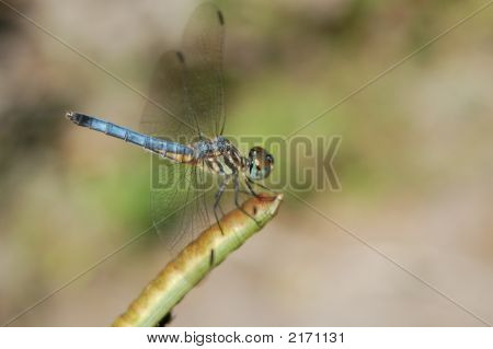 Vibrant Blue Dragonfly
