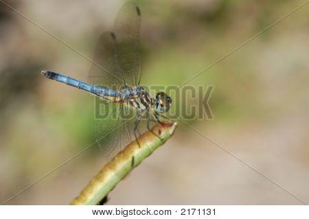 Vibrant Blue Dragonfly