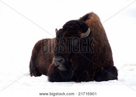 Aurochs Resting On The Snow In Forest