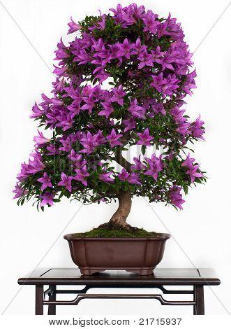 Violett Flowers Of A Azalea Bonsai